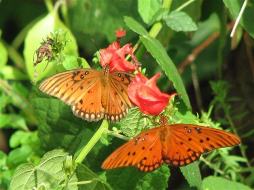 Gulf Fritillaries on Sultan's Turban flowers.