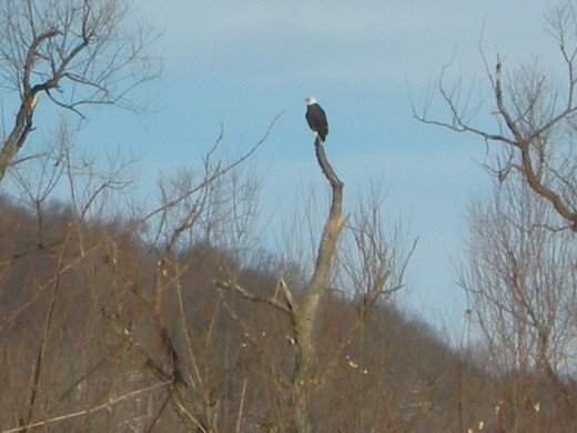 Bald Eagle in  layfette  New Jersey  January  2011