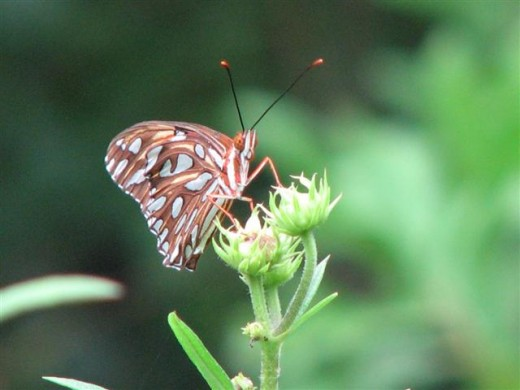 Gulf Fritillary on native sunflower bud.