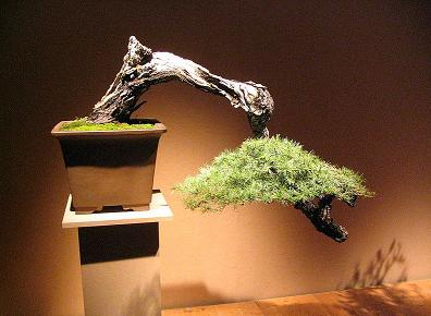 Cascade Style Bonsai Tree