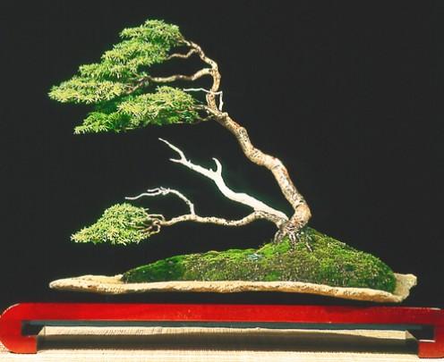 Windswept Style Bonsai