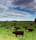 Antibiotic Injections for Cows