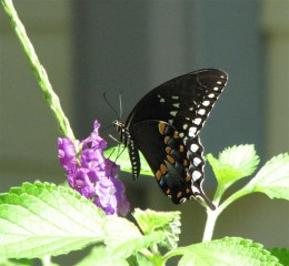 Spicebush Swallowtails have a blue streak in the row of orange dots.