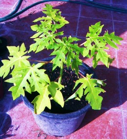 3 month old carica papaya tree seedling
