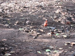 Red Cardinal-birds raid our cook kitchen.