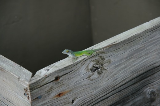 Leach's Anole (Anolis leachii) I photographed on the island of Antigua.