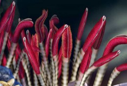 Giant Tube Worms with Bright Plumes
