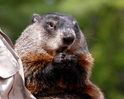 Celebrate Groundhog Day at Gobblers Knob-How to Get There and What to Expect
