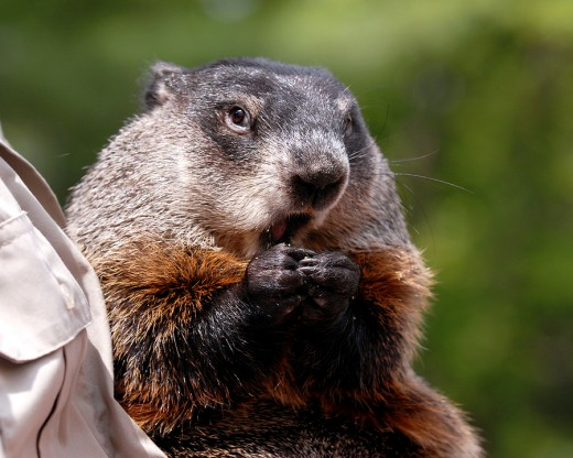 Punxsutawney Phil Poses