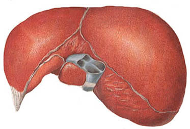 The liver is an essential human organ.