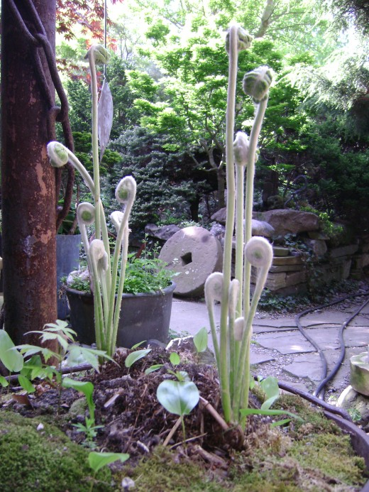 """Ferns Taking Shape       -       Spring Has  Sprung                           """"To eat or not to eat"""""""