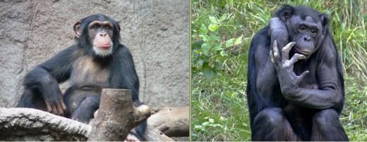 See: http://en.wikipedia.org/wiki/File:Schimpanse_zoo-leipig.jpg + http://en.wikipedia.org/wiki/File:Bonobo_009.jpg
