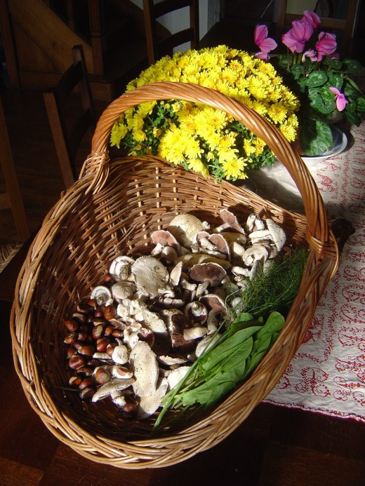 Freshly picked field mushrooms (Agaricus campestris) or family
