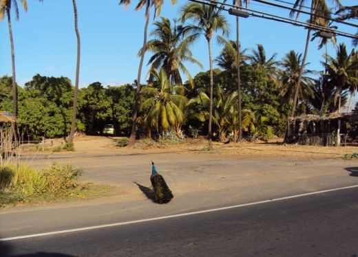 Peacock having crossed Kihei Road, Maui, Hawaii