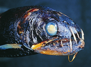 Snaggletooth Fish