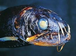 Snaggletooth Fish