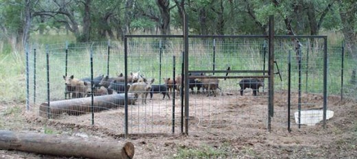 Some trappers bait wild pigs into enclosures to contain them until disposal can be carried out.