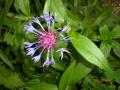 Centura Montana-Cornflower