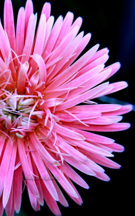 """pink magic"" , spider daisy"
