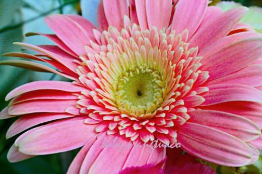 """debutant"", pink Gerbera daisy"