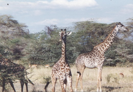 This picture of giraffes is from a stash of safari pictures I rescued from being condemned to a basement.  I have used several of these as reference photographs for my drawings.