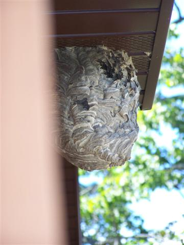 Bald Face Hornet Nest