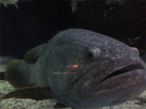 My Friend, Giant Grouper