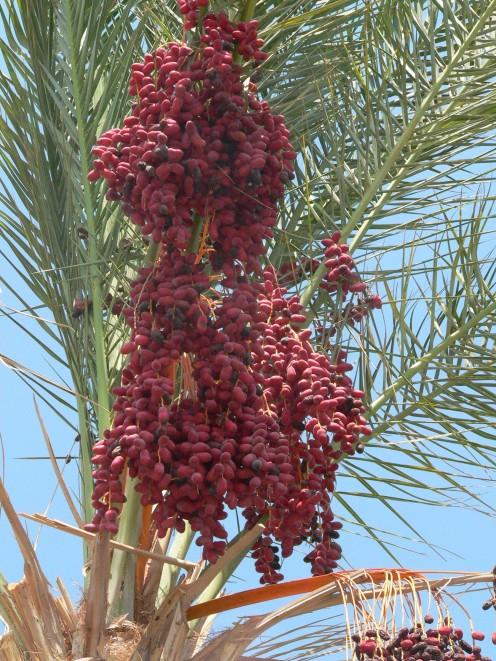A Date Palm