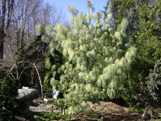Himalayan Sabrina, Pine