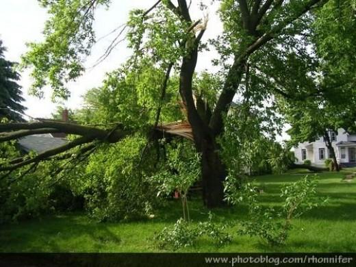 Another neighbor's fallen tree.  (Manistee, Michigan)