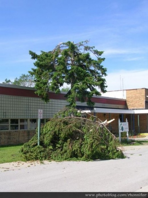In front of Casman Alternative Academy, the top of this tree looks as though it was plucked off and set down in front of it.  (Manistee, Michigan)