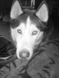 Murdered Siberian Huskies In BC More Than Simple Cruelty to Animals