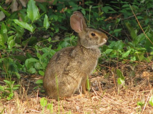 Cottontail Rabbit Freeze Defense