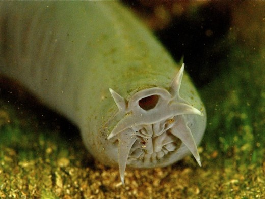 New Zealand Hagfish - Mouth of Hagfish