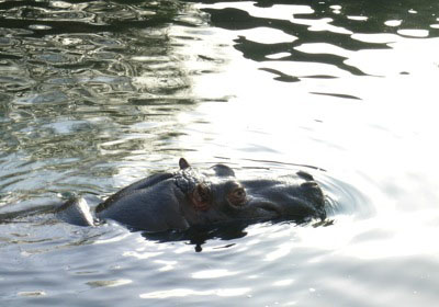 Sometimes things just aren't what they seem at first glance.... Sometimes like this hippo swimming in her pond, a lot of surprise  is hidden underneath!