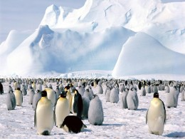 Antarctica penguins are an amazing site - especially when mating.
