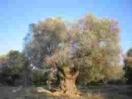 Very old olive tree