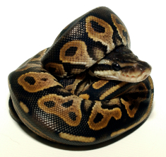 "Ball Python forming a ""ball,"" after its namesake."