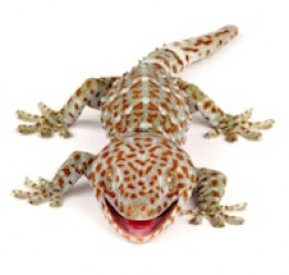 The notoriously irritable Tokay Gecko (Gecko gecko)