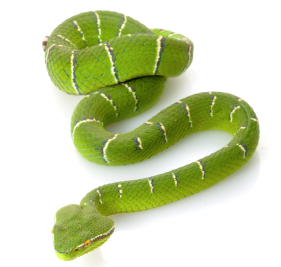 The captivating Green Tree Python (Morelia viridis)