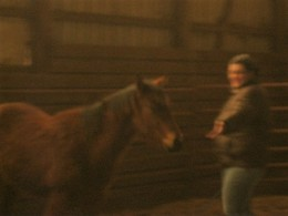 Here I had a short, simple session with my 12 month old yearling in the indoor round pen. I did not ask him for particular gaits but rather focused on him going each direction and then him coming in to face me. This puts less stress on joints.