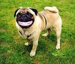 Bulldog smiles
