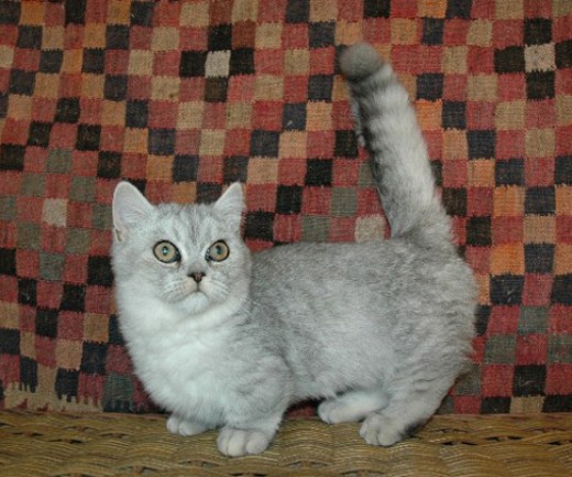 Munchkin Cat  Breed - the perfect house cat