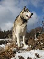 Large Breeds of Dogs - The Alaskan Malamute