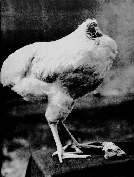 Mike the Headless Chicken lived for 2 years after he lost his head.