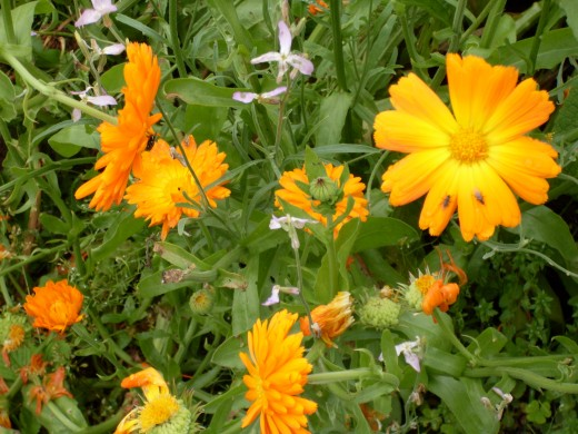 some of my garden calendula plants with their usual insects flying around. I grow them with night scented stock for evening scent.