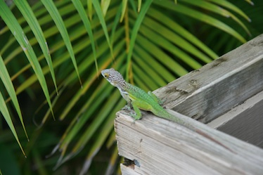 Beautifully-colored Leach's anole I saw in Antigua.
