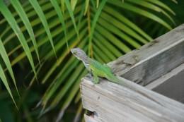 Beautifully-colored Leach's anole I saw in Antigua.