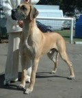 Large Dog Breeds - The Great Dane