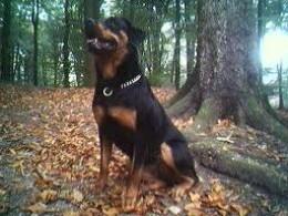 Large Dog Breeds - Rottweiler